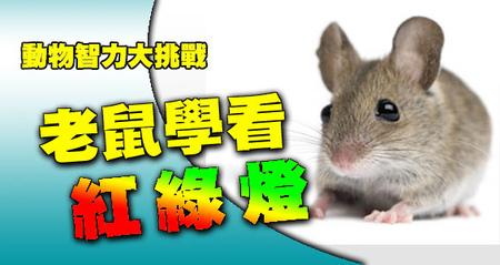老鼠學看紅綠燈-老鼠們的智商