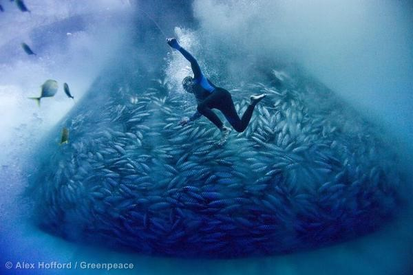 Diver Joel Gonzaga of the the Philippine purse seiner 'Vergene' at work using only a single air compressor hose to the surface, in and around a skipjack tuna purse seine net, in the international waters of high seas pocket No1.